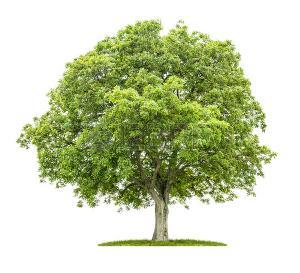41915755-vecchio-albero-di-noce-su-uno-sfondo-bianco